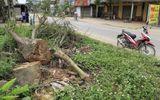 """Huyện Thạch Thất chặt gần 500 cây xanh trong đợt ra quân """"đòi"""" vỉa hè"""