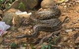 """Đi thả trăn đất quý hiếm nặng 10kg về rừng, bắt gặp rắn hổ mang phì """"khủng"""""""