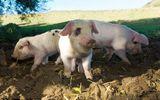 Kỳ lạ dùng thực quản lợn cấy ghép cho người