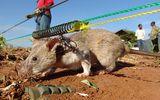 Cuộc sống của loài chuột khổng lồ chuyên đi rà phá bom mìn