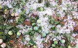 Sơn La: Mưa đá trên diện rộng, nhiều diện tích mận hậu bị mất trắng