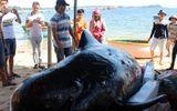 """Cá """"Ông Chuông"""" nặng 700 kg dạt vào bờ biển"""