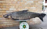 Cần thủ bắt được cá trắm đen nặng 41 kg trên sông Đà
