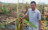 Gần 3000 cây chuối bị côn đồ phá nát trong đêm, chủ vườn mếu máo