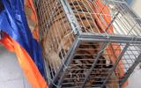 Bắt nhóm mua hổ sống 200 kg ở Nghệ An rồi mang ra Hà Nội nấu cao