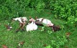 Điều tra vụ trộm bò táo tợn rồi xẻ thịt ngay cạnh nhà gia chủ