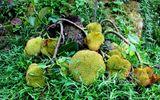 Kỳ lạ cây mít bị chặt tận gốc nhưng vẫn ra chi chít hàng chục quả