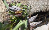 Kỳ lạ cây chuối nở 21 hoa ở Thanh Hóa