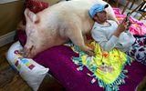 """Nuôi """"lợn cảnh"""" hơn 300kg, cặp đôi nhận cái kết bất ngờ"""