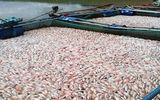 100 tấn cá chết trên hồ thủy điện Plei Krông do thiếu ôxy