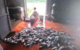 Hàng trăm tấn cá lồng trên sông Đà chết hàng loạt do thủy điện xả lũ
