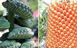 Thiên nhiên kỳ diệu với những loại trái cây hiếm mà 99% người chưa biết tên