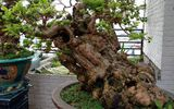 """Cây ổi quý được cho là 300 năm tuổi, trả 1 tỷ đồng không bán khiến bonsai Hà Thành """"phát sốt"""""""