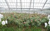 """""""Vỡ kế hoạch"""" cho ra 800 quả, cây xoài được chủ """"đưa"""" đi dự thi Guinness Thế giới"""