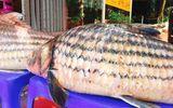 """Cặp cá trà sóc """"khủng"""" được vận chuyển từ Campuchia về Hà Nội bằng đường hàng không"""