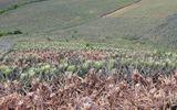 Kẻ gian dùng thuốc cỏ tàn phá vườn dứa sắp đến kỳ thu hoạch