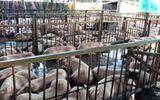 Vụ hàng nghìn con heo bị tiêm thuốc an thần: 17 cán bộ thú y phải giải trình