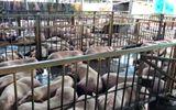 """Gần 4.000 con heo bị tiêm thuốc an thần: Cán bộ thú y bị """"bịt mắt"""" khi giám sát lò mổ?"""