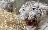 Ấn Độ: Kinh hoàng cảnh nhân viên sở thú bị hổ ăn thịt