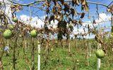 Khởi tố hai đối tượng chặt hạ hơn 1.200 gốc cây chanh leo