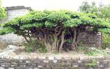 """Chiêm ngưỡng những cây tiền tỷ trăm tuổi giá """"ngất ngường"""" cả tỷ đồng của đại gia Việt"""