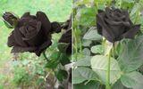 Loài hoa hồng đen cực kỳ quý hiếm có giá hơn nửa triệu đồng/bông