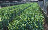Lo hoa nở trước 20/11, chủ vườn Tây Tựu phải cắt sớm, đem hoa đi ướp lạnh