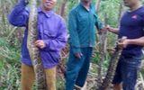2 con trăn gấm nặng 30 kg bị người dân vây bắt, nấu cao