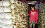 Trồng nấm bào ngư xám cho thu nhập vài chục triệu một tháng
