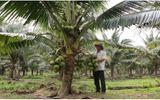 Trồng loại dừa thơm mùi lá dứa, anh nông dân thu nhập cả trăm triệu đồng mỗi năm
