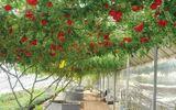 """Cây cà chua bạch tuộc """"đẻ"""" 14.000 quả mỗi năm"""