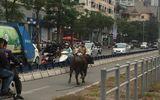 Trâu điên húc người náo loạn trên phố Hà Nội