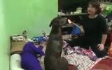 """Phì cười với clip về chú chó dễ thương khiến bà chủ phải """"nương tay"""""""