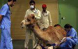 Dubai xây bệnh viện 247 tỷ đồn dành riêng cho lạc đà
