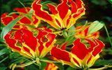 """Ngoắt nghẻo: Loài hoa đẹp trong """"hồ sơ thần chết"""" ở Việt Nam"""