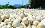 Doanh nghiệp Nhật thay đổi ý định trồng tỏi voi ở Lý Sơn