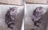 Nín cười xem chuột tắm rửa, chà xà phòng kỳ cọ như người