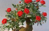 """Hoa hồng bonsai giá 1 triệu đồng/cây vẫn """"cháy hàng"""", không có cây để bán"""