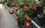 Tiết lộ thông tin về táo bonsai Trung Quốc: Quả gắn keo, không nên ăn