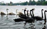 Thả thiên nga trên Hồ Gươm: Các chuyên gia nói gì?