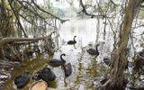 Đàn thiên nga ở hồ Gươm bị bắt lại trong đêm