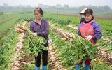 500 đồng/kg củ cải, nông dân Hà Nội xót lòng đổ hàng chục tấn xuống sông