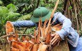 """Quảng Nam: Rừng lim cổ thụ hàng trăm năm tuổi bị """"xẻ thịt"""" kinh hoàng"""