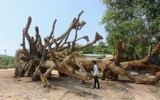 """Vụ cây """"quái thú"""": Đưa chủ cây về Đắk Lắk xác định nguồn gốc cây thứ 3"""