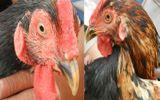 Kỳ lạ con gà trống có