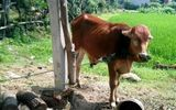 Kỷ luật nhiều cán bộ xã liên quan vụ giết thịt, phân chia bò giống chính sách