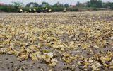 Xác định nguyên nhân ban đầu khiến gần 100 tấn ngao chết trắng đầm