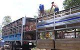 Tiêu hủy 3.115 kg lợn nhập lậu