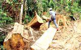 Cận cảnh tình trạng chặt phá rừng đầu nguồn ở miền Tây xứ Nghệ