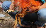 Lạ mắt với gà trống 4 chân, chuột cống bạch tạng tại lễ hội ở miền Tây